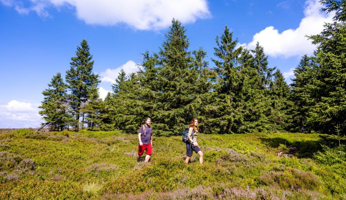 Einmal quer durch: Heidelbeerfelder im Thüringer Wald © Gregor Lengler / Thüringer Tourismus GmbH