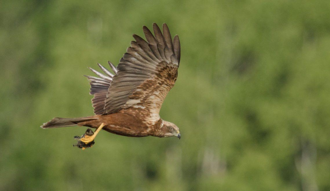 Im Müritz-Nationalpark brüten etwa 20 Fischadler-Paare, Besucher bekommen hier aber auch viele andere Greifvögel wie diese Rohrweihe zu Gesicht © Kathrin Hack