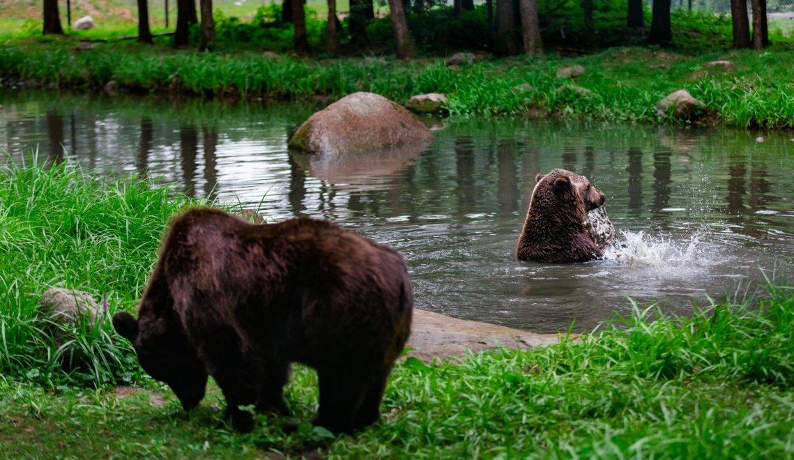 Früh morgens und abends kann man die Bären im Schutzzentrum Müritz am besten beobachten © xxx