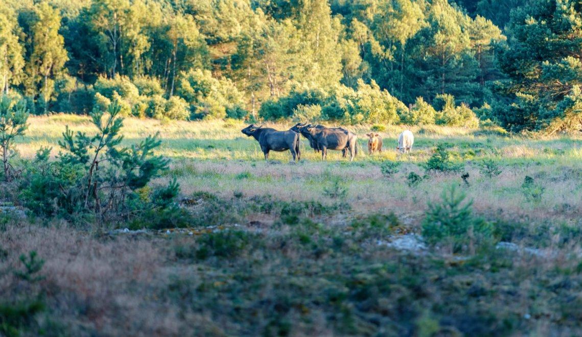 Mächtige Wasserbüffel dienen in Proras Schutzgebiet als Landschaftsgärtner © TMV/Tiemann