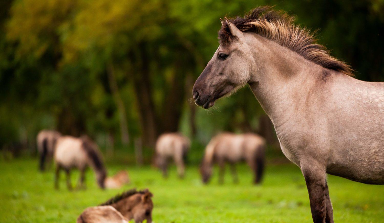 Schönheit im Profil: Wildpferde sind Jahrhunderten im Münsterland zuhause © Tourismus NRW e.V.