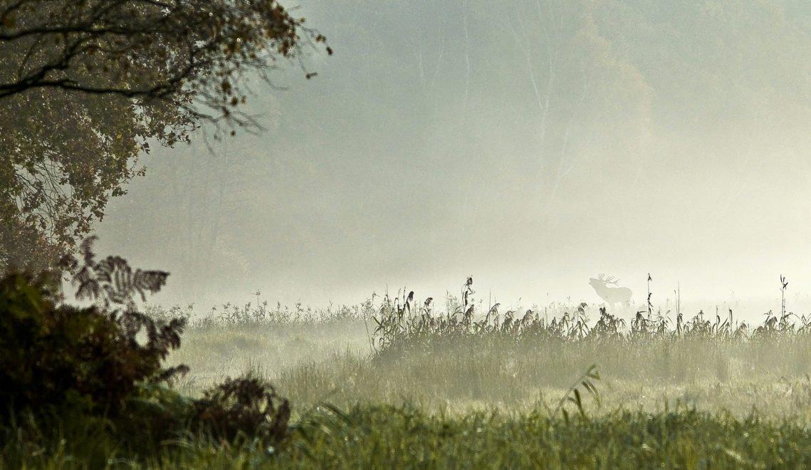 Im Darßwald lassen sich mit Glück Hirsche in freier Wildbahn entdecken © Klaus-Herbert Schröter