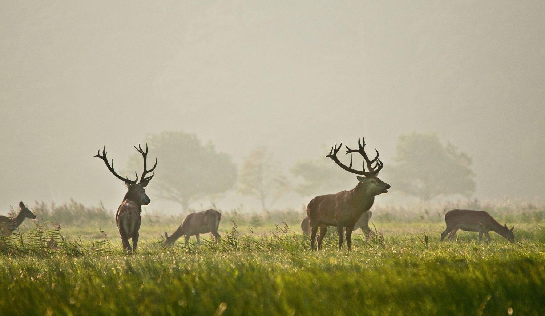 Auf dem Darß sind auch mächtige Hirsche zu beobachten © Klaus-Herbert Schröter