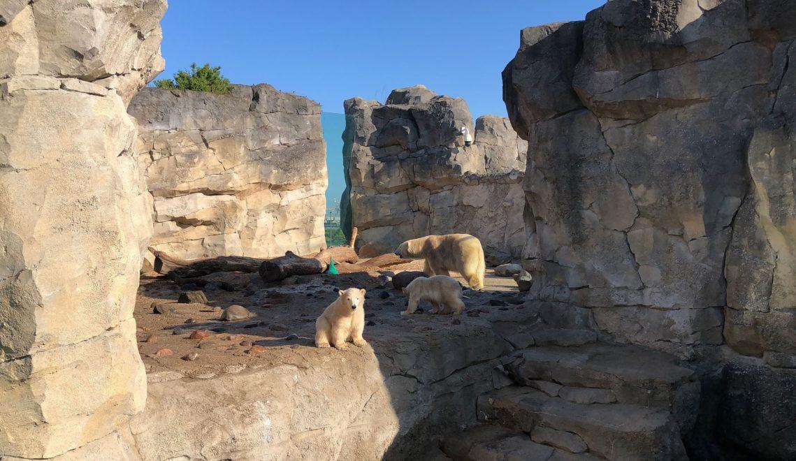 Nachwuchs im Zoo: Die Eisbärenzwillinge Anna und Elsa erkunden das Außengehege mit Mutter Valeska © Mailin Knoke_Erlebnis Bremerhaven
