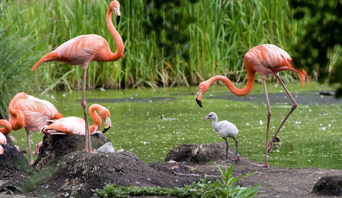 Rund im die Vogelwiese sind die Flamingos zu Hause