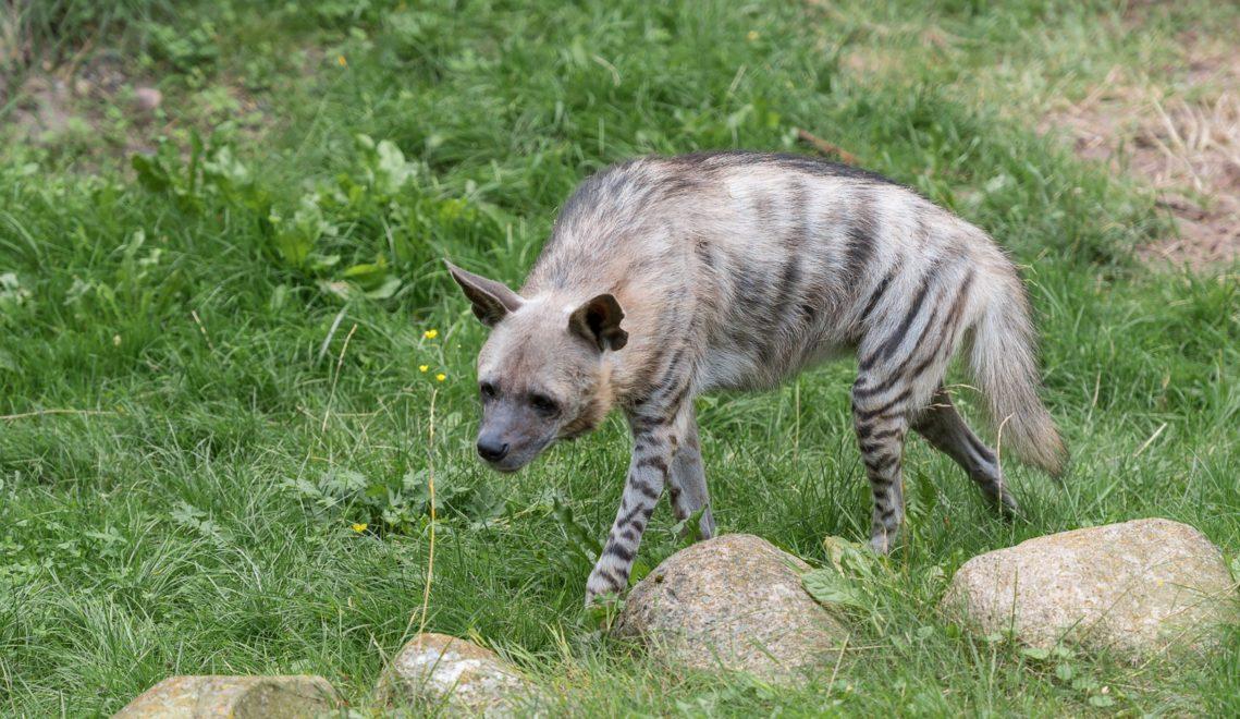 Nach einer wohltuenden Sonnensiesta streift eine Hyäne durch das Gehege ©Erhard Heiden
