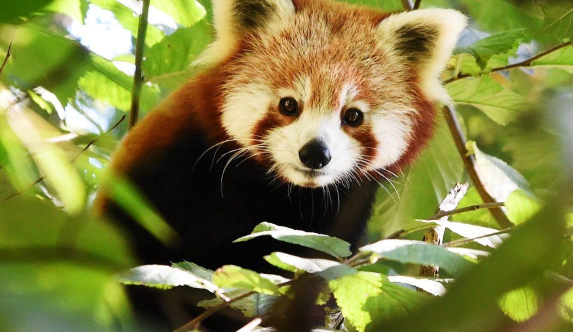 Heimisch im Norden Chinas – und im Schweriner Zoo: der Rote Panda