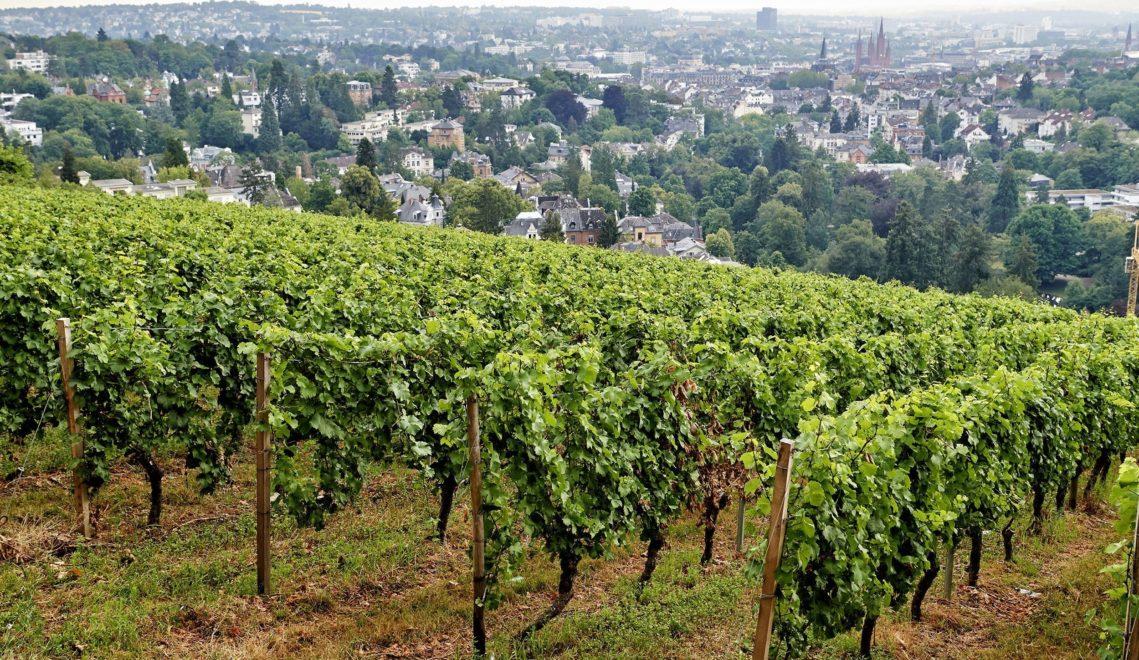 Vom Neroberg aus hat man nicht nur einen hervorragenden Blick über die hessische Landeshauptstadt, hier wächst auch Wein © floriantrykowski.com