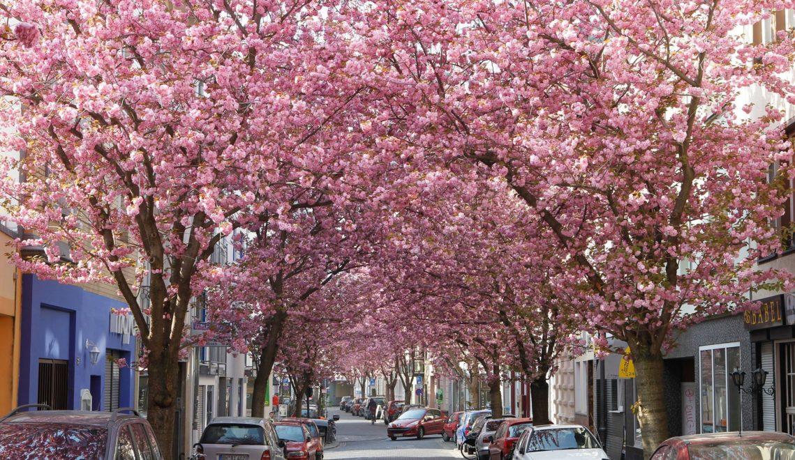 Kirschblüte in der Bonner Altstadt © Bundesstadt Bonn, Sondermann