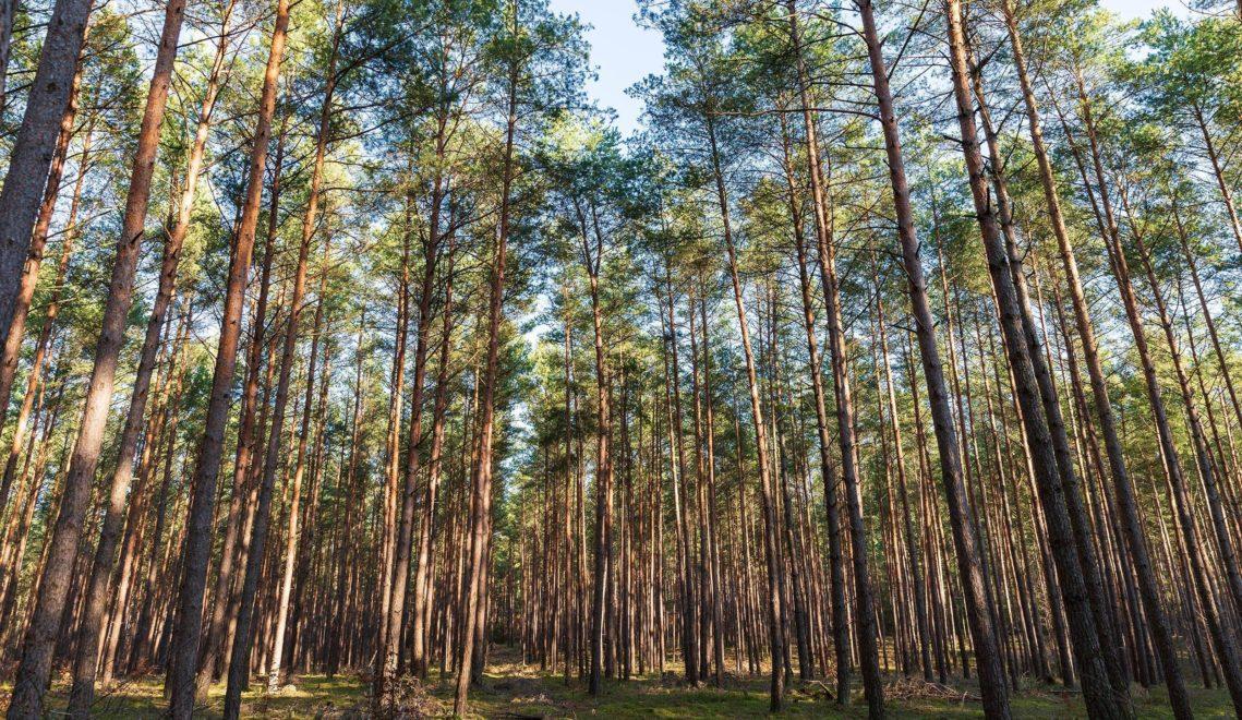 Kraft tanken zwischen bis zu 180 Jahre alten Bäumen: Im Buchenwald Grumsin kann man Waldbaden © TMB-Bildarchiv/Steffen Lehmann