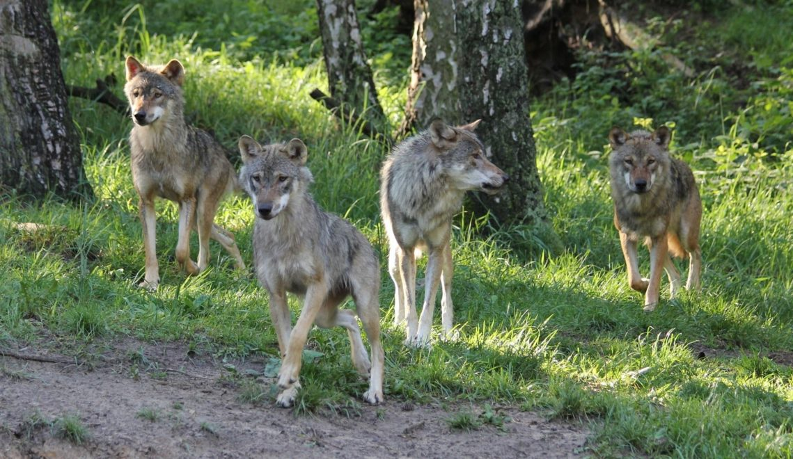 Wolfsrudel © Wildpark-MV