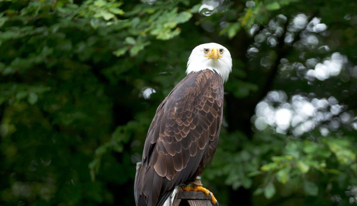 Am Harzfalkenhof in Bad Sachsa könnt ihr Greifvögel wie den Weißkopfadler beobachten
