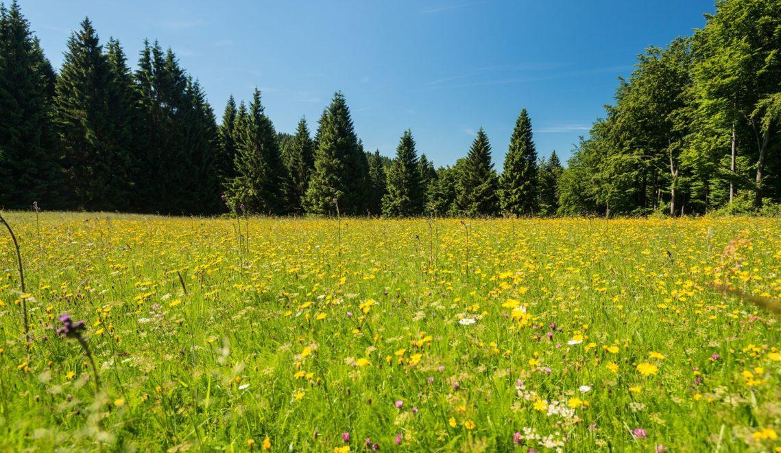 Natur pur im Biosphärenreservat Thüringer Wald, hier eine unberührte Bergwiese in voller Blüte © Dominik Ketz