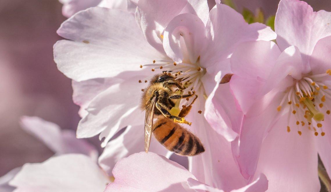 Dank der Bemühungen der Stadthonig-Imkerei können Bienen mitten in Kassel auf Blütensuche gehen