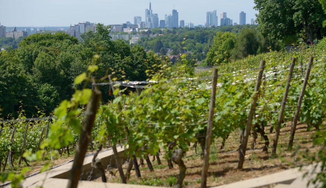 An den Hängen des Lohrberges wird Wein angebaut