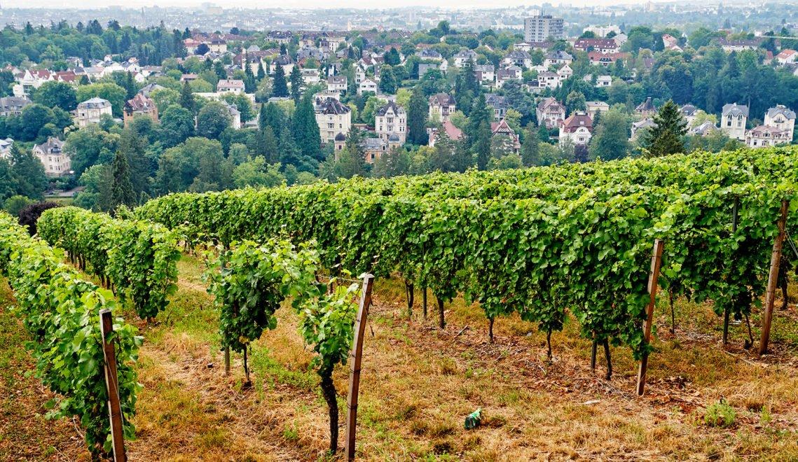 Über die Weinlagen des Nerobergs habt ihr einen schönen Blick auf die Stadt