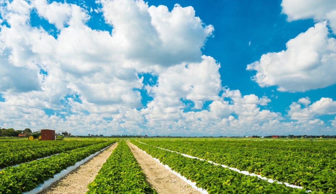 4000 Hektar werden im Oldenburger Münsterland für den Erdbeeranbau genutzt – das entspricht 5.600 Fußballfeldern