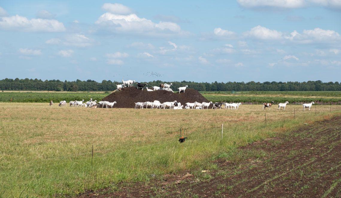 Die Weide der Mädels vom Ziegenhof Hebeleermeer liegt direkt am Moor