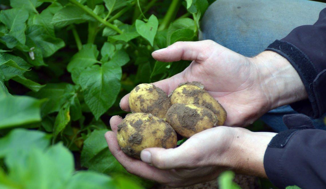 Ab August beginnt auf den Kartoffelfeldern von Gaus-Lütje die Ernte